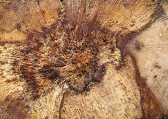 Maladies de la vigne et du bois