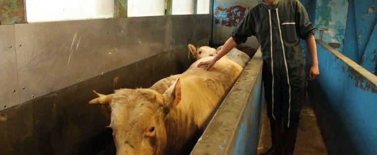 Plus de respect pour les animaux en abattoir